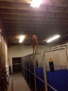 This balancing acrobatic genius dog.