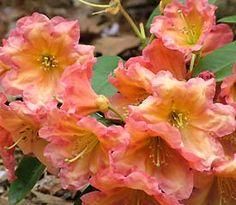 Rhododendron 'Orange Ruffy'