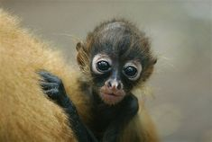 Baby Black handed spider monkey