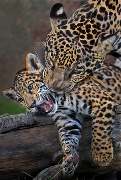 Jaguar cub with mother | by Stinkersmell