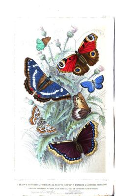 Butterflies. A History of the Earth and Animated Nature, Vol. 2, by Oliver Goldsmith