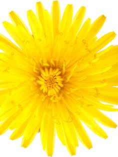 Dandelion Inspirations Note Card by Nature's Atelier on Etsy
