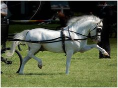 Welsh Pony..driving. Could you get those hooves any higher? Wow!