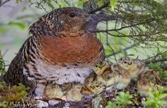 [Female]Capercaillie (Tetrao urogallus) with its chicks. ©Markus Varesvuo