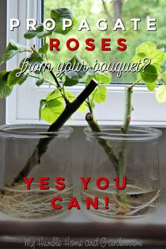 If You Love The Rose From Your Bouquet, Propagate It! This does not take great skill! You can root these from a bouquet you've received from the florist! Rose Plant Care, Rose Care, Rose Cuttings, Rose Propagation, Plant Cuttings, Roses In Potatoes, Rooting Roses, Rooting Plants, Pruning Roses