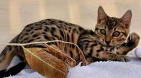 Omg yes please !!! Toyger