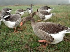 One of our flocks of domestic Toulouse geese, heading out to pasture for a peaceful day of grazing. Geese Breeds, Farm Animals, Cute Animals, Grey Goose, Duck Decoys, Game Birds, Down On The Farm, All Gods Creatures, Hobby Farms