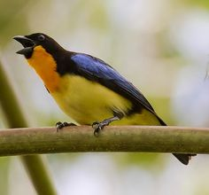 Orange-throated Tanager -threatened, found very locally in humid forests around the Ecuador-Peru border.