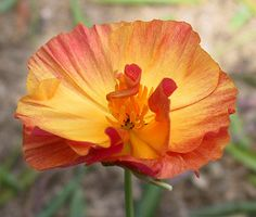 California Poppy | California Poppy. And if it were legal, I'd pick you a bouquet.