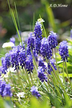kwiaty, szafirki, wiosna, ogród, dom