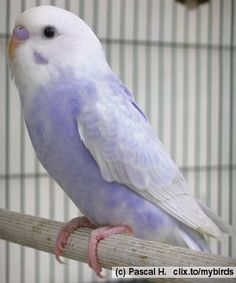 What a cute budgie! It's... purple.