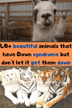 """This may come as a surprise to you, but humans aren't the only species to have Down syndrome. All sorts of animals can be affected, and they are so completely adorable. The nucleus in a typical human cell is made of 23 pairs of chromosomes. According to the National Down Syndrome Society, """"Down syndrome (also known as trisomy 21) occurs when an individual has a full or partial extra copy of chromosome 21."""" Although many animals have a different number of chromosomes in their nuclei, an extra… Stylish Dresses For Girls, Stylish Dress Designs, Tommy Shoes, Animals Beautiful, Cute Animals, Hyper Realistic Tattoo, Biomechanical Tattoo, Everyday Makeup Tutorials, Silhouette Tattoos"""