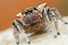Habronattus spiders are known for their big frontal eyes, colorful ornamentations and complex courtship displays. Habronattus californicus, seen here, is one of many local jumping spider species. (Photo: Colin Hutton, Flickr)