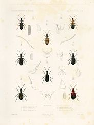 Hand-colored copperplate engravings of African beetles, produced as part of a series documenting an early French scientific survey of Algeria