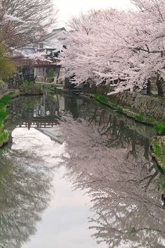 Cherry Blossoms, Omihachiman, Shiga, Japan 八幡堀の桜