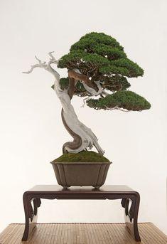 An exceptionally elegant Bonsai (Juniperus chinensis Kishu), by Davide Cardin. #bonsai #盆栽 #盆景 #bonsaitree #nature #trees
