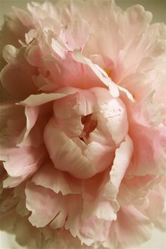 Soft pink peony.                                                                                                                                                                                 More
