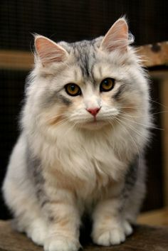 Siberian Cat  by Blaze on 500px