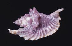 Rooster Tail Conch - Linnaeus, 1758 - Strombus gallus