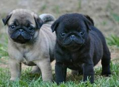 "Acquire wonderful recommendations on ""black pugs funny"". They are available for you on our internet site. Cute Pug Puppies, Black Pug Puppies, Cute Dogs, Dogs And Puppies, Puggle Puppies, Doggies, Pictures Of Pug Puppies, Baby Black Pug, White Pug"