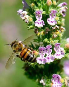 GEORGIA State Insect - Honeybee!