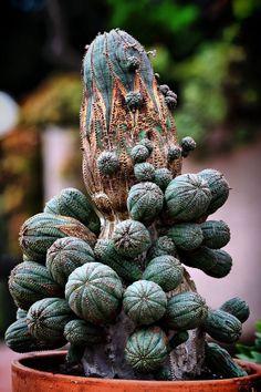 Euphorbia obesa.