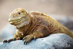 yellow land iguana, iguana galapagos, galapagos wildlife