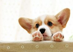 Adorable Corgi Puppies: Who is Kilroy? Pembroke Welsh Corgi Puppies, Corgi Dog, Baby Corgi, Cute Puppies, Cute Dogs, Dogs And Puppies, Baby Animals, Cute Animals, Corgi Facts