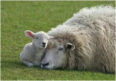 Sheep and Lamb Cute Sheep, Sheep Farm, Sheep And Lamb, Vegan Animals, Farm Animals, Animals And Pets, Cute Animals, Lord Is My Shepherd, Tier Fotos