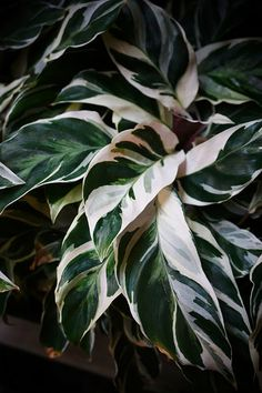 The indoor plant trend moves toward patterned leaves for like this beautiful painterly Calathea plant. Find our collection of planters online to give your plants a home. Indoor Garden, Indoor Plants, Outdoor Gardens, Calathea Plant, Plants Are Friends, Tropical Plants, Houseplants, Planting Flowers, Greenery
