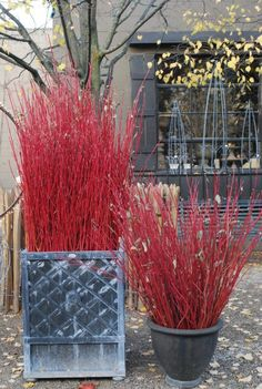 Detroit Garden Works, Cardinal red twig is much more vibrant in color than the species.  The best color on any dogwood branch is the current season's growth.  Stems that mature take on a brown cast as they age.