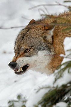 disminucion:  Wolf, Milko Marchetti