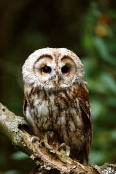 for the faeries ❧ owl