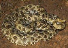 Plains Hog-nosed Snake - Hetertodon nasicus nasicus