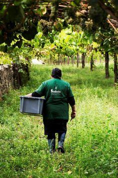 Adeus às vindimas 2015 ... na próxima semana novos trabalhos começam nas vinhas.... Goodbye to the 2015 harvest ... next week new season work begins in the vineyards .... #Alvarinho #Albarino #Vindimas #Harvest