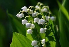 Buy Wholesale Lily of the Valley / Convallaria from Triangle Nursery. An online wholesale florist supplier specialising in wholesale & wedding Lily of The Valley flowers.