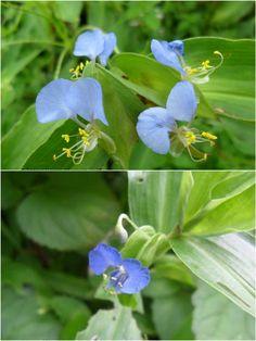 Kanchura Flower (কানচুরা ফুল)+ Commelina Cyanea