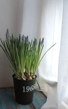 Grape hyacinths  - VanillaSaLt
