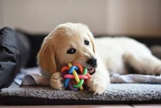 How to Stop your Dog from Play… #dogtraining Dog Chew Toys, Dog Toys, Protective Dog Breeds, Dog Illnesses, Training Your Puppy, Training Tips, Crate Training, Training Courses, Dogs Golden Retriever