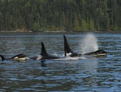 Frontier (@FrontierGap) | www.frontiergap.com | blog.frontiergap.com | #worldorcaday #orca #killerwhale #whale #dolphin #conservation #marine