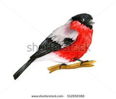 Red Bird Bullfinch. Winter Christmas Hand Painted Greeting Card Illustration. On white background. Watercolor illustration