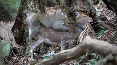 Monkey Tries to Mate With Deer in First Ever Video:  Why did a male macaque mount a sika deer in Japan? Scientists have some theories.