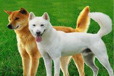 Jindo Dog (진도의 진도개)
