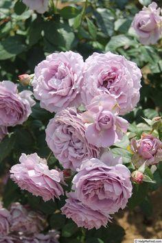 Ebb Tide Rose Bush
