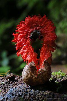 Laternea pusilla, fungi Bosque de Paz Lodge