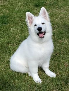 German Shepherds, German Shepherd Dogs, Schaefer, Husky, Dog Cat, Cute Animals, Doggies, White People, Cute