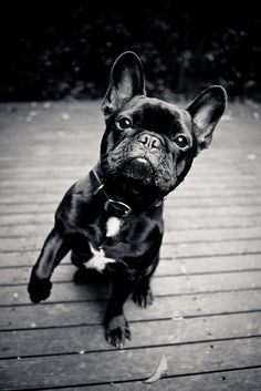 French Bulldog. so sweet