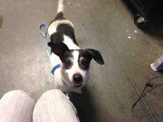 Raggle dog for Adoption in Santa Cruz, CA. ADN-596461 on PuppyFinder.com Gender: Male. Age: Adult