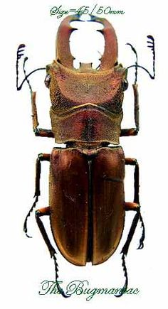 Lucanidae : Cyclommatus pasteuri 40/45mm - The Bugmaniac INSECTS FOR SALE BUTTERFLIES FOR SALE INSECTS FOR SALE BEETLES FOR SALE BEETLES BY ECOZONE ASIAN-AUSTRALASIAN ECOZONE LUCANIDAE