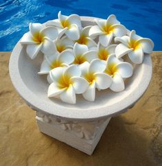 Nothing evokes that tropical feeling quite like the frangipani. Their sweet scent and sheer beauty make them universally loved and the blooms look sensational on the tree and as a cut flower. Pick up some freshly fallen blooms and float them in a bath or bowl of water and it's easy to feel you're relaxing in a fabulous tropical day spa! Most familiar in their white and yellow form, they also come in loads of tropical and sunset colours.